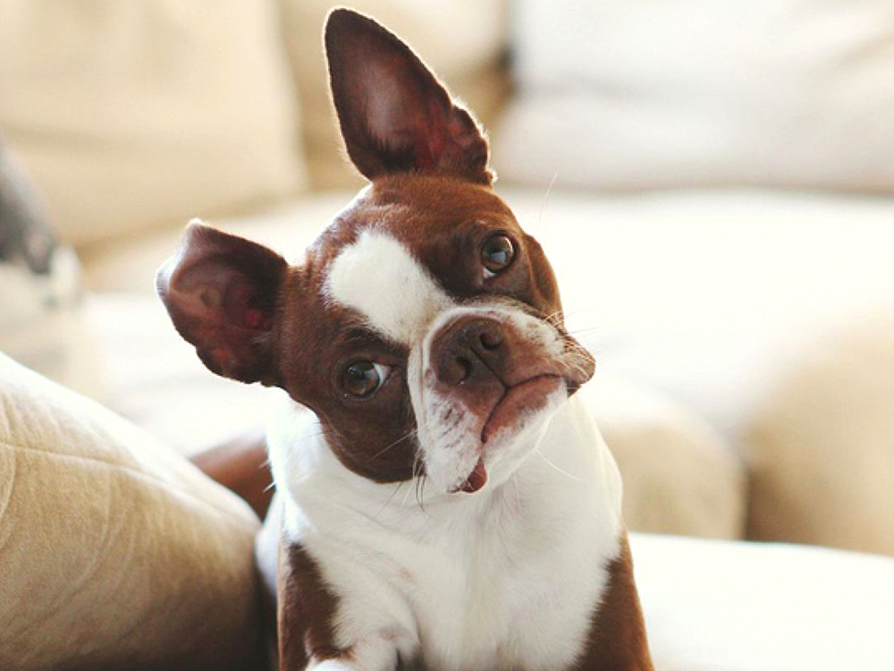 french bulldog tilting its head